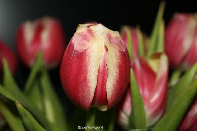 2009-tulpen