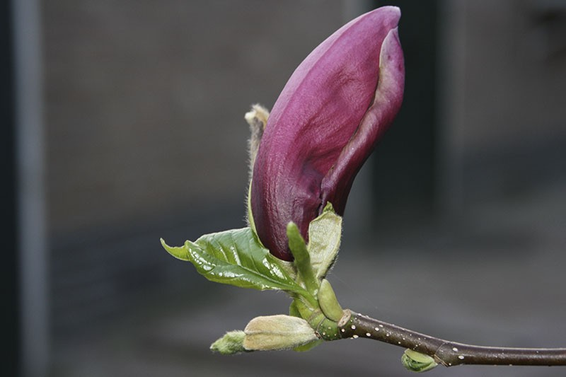 20090329-magnolia