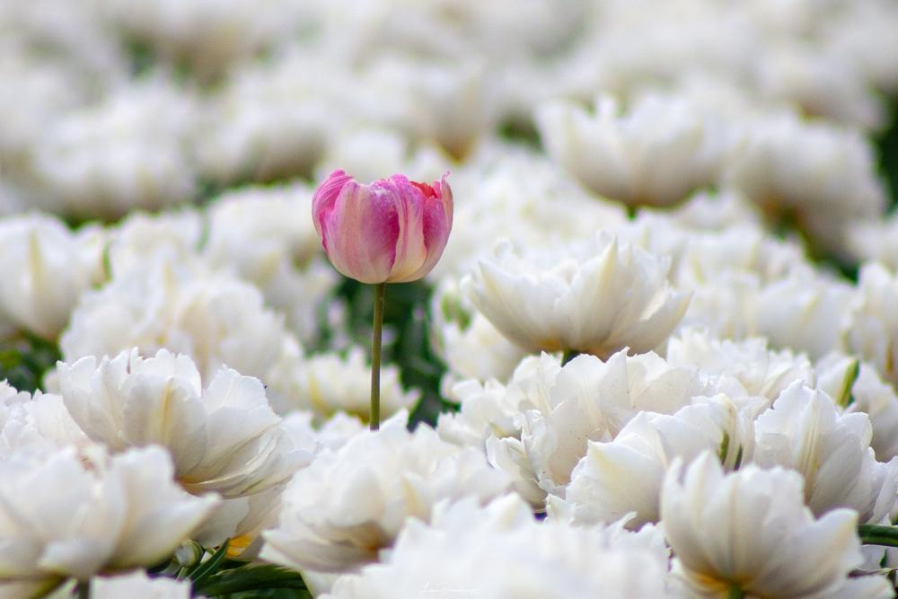 een roze tulp