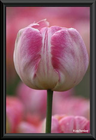 tulp met een zwart randje