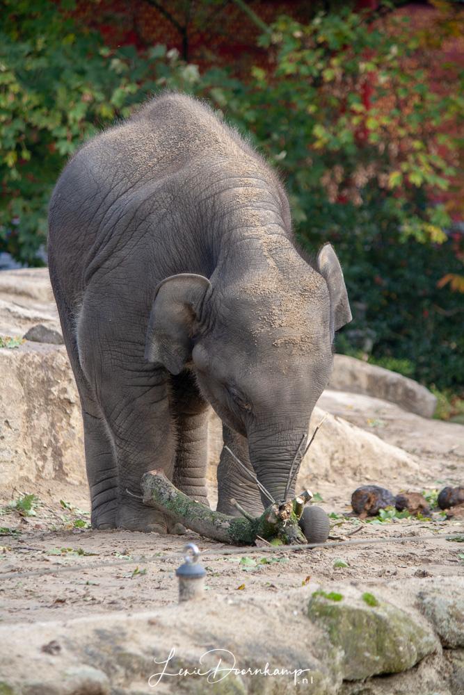 spelende olifant