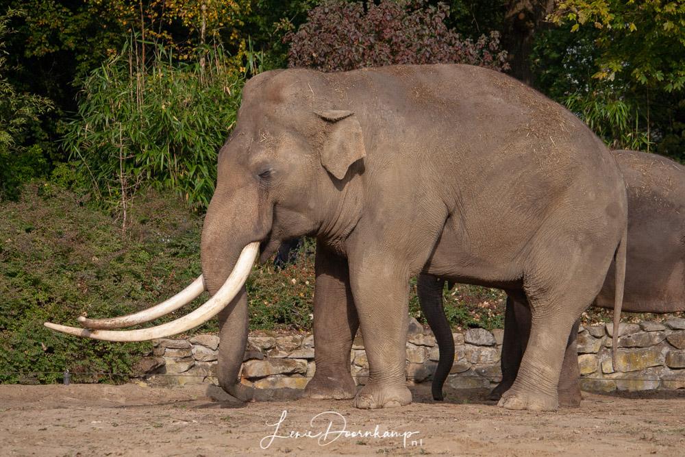olifantenstier