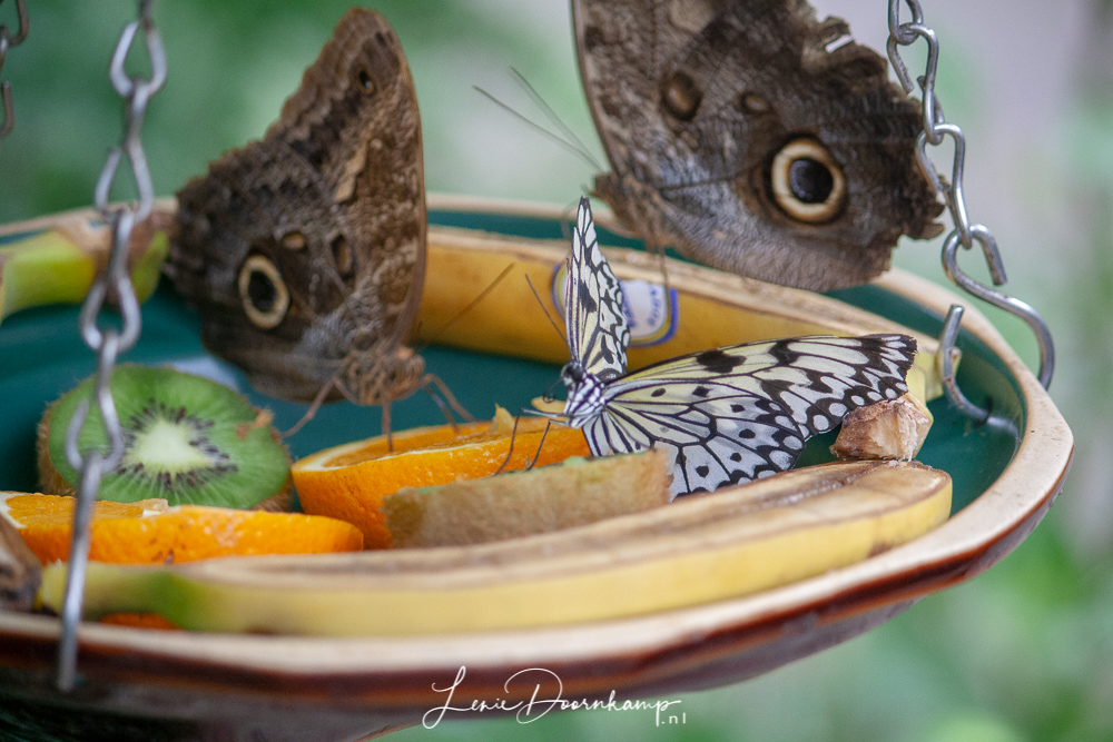 vlinders eten fruit
