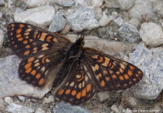 oranjebonte parelmoervlinder