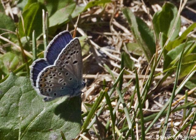 bremblauwtje