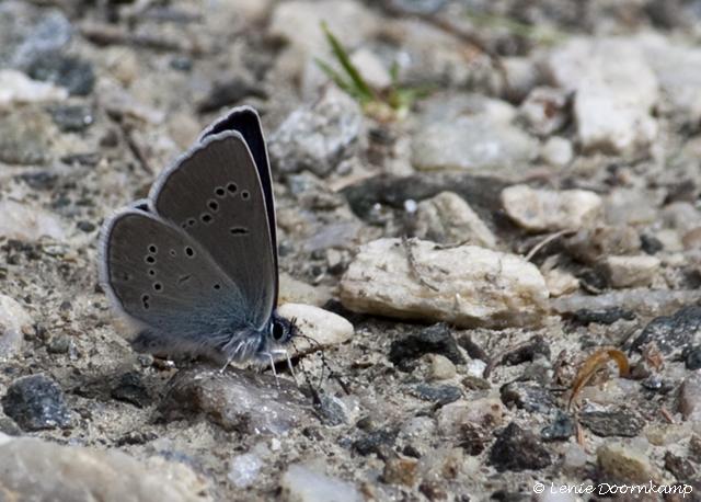kobaltblauwtje