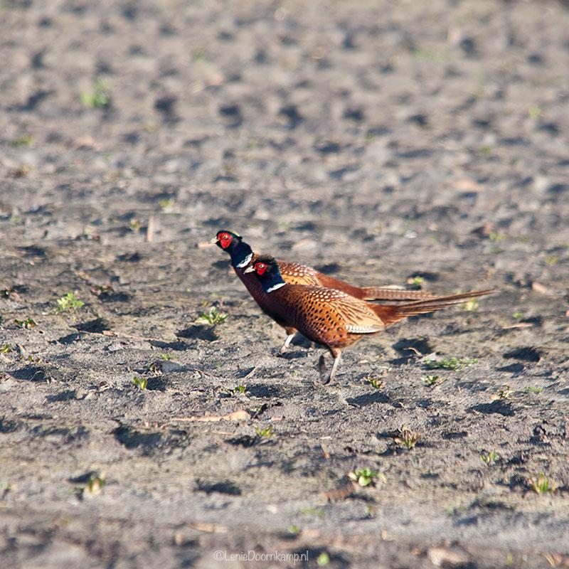 20140209-fazant2