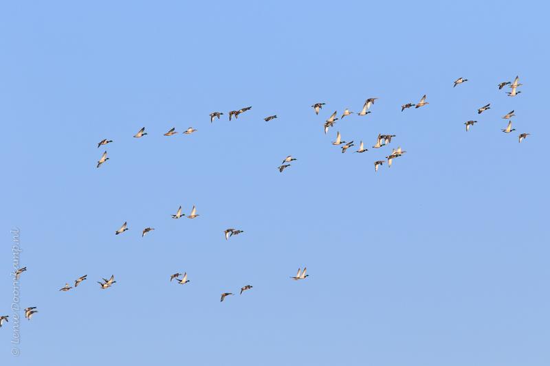 20150206-wilde-eenden