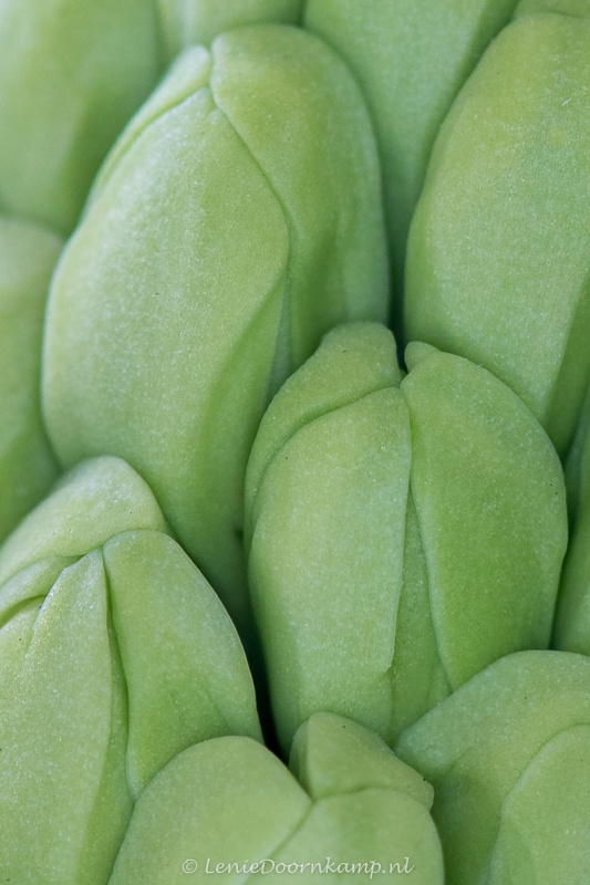 20150313-hyacint-2