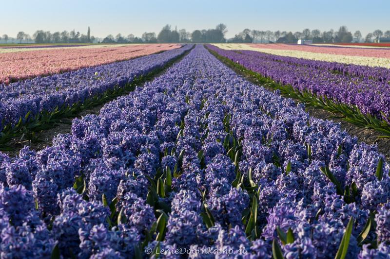 20150313-hyacintenveld-blauw