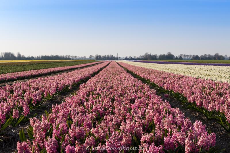20150313-hyacintenveld-roze