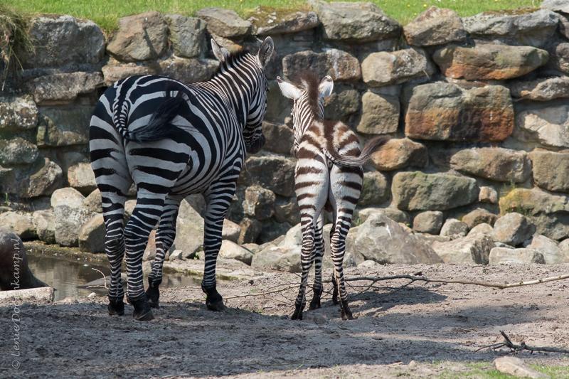 20150625-zebra