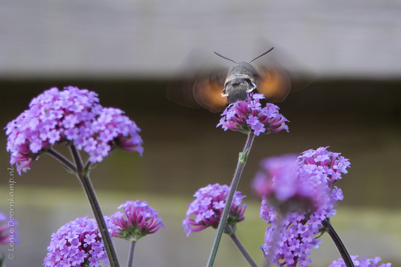 20150705-kolibrievlinder-2