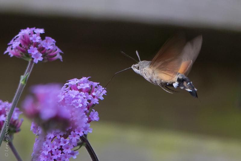 20150705-kolibrievlinder