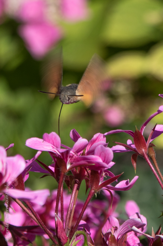 20150823-kolibrievlinder