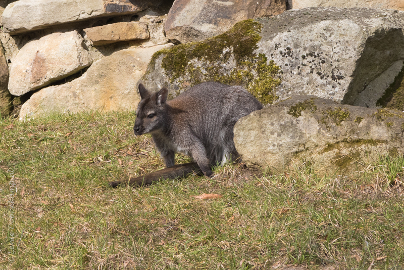 20160313-bennet-wallaby