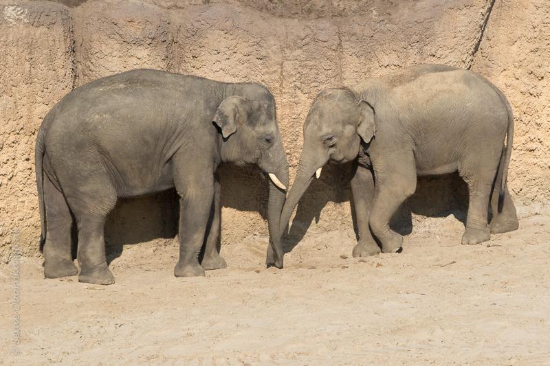 20160313-olifanten-2