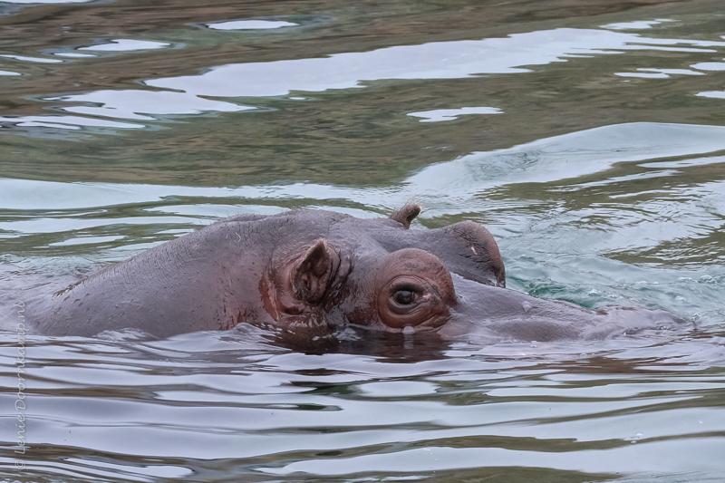 20161222-nijlpaard