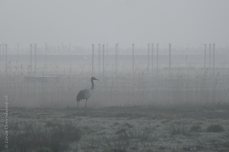 20170327-kraanvogel