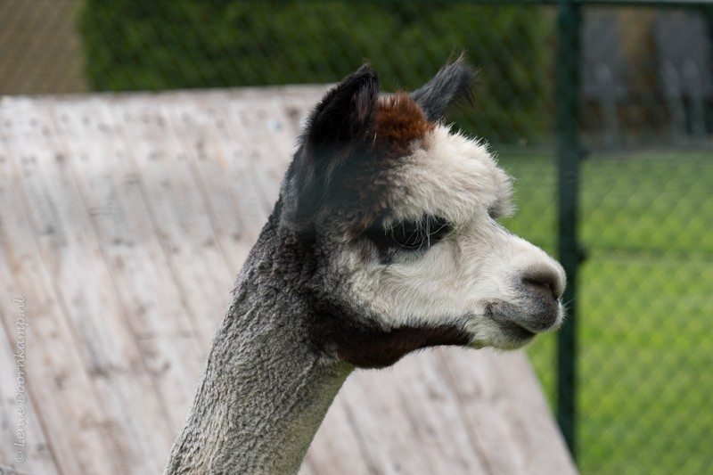 20170707-alpaca-3