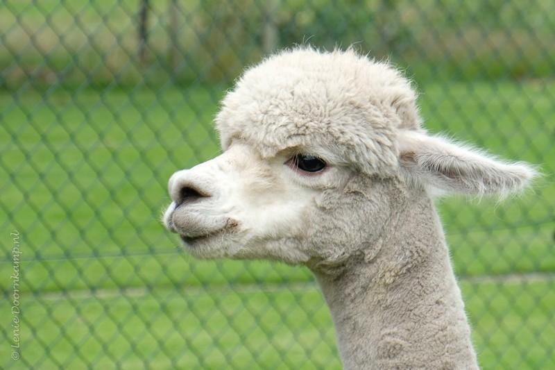 20170707-alpaca