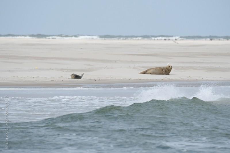 zeehond met jong