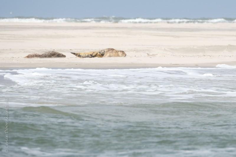 lichte zeehonden