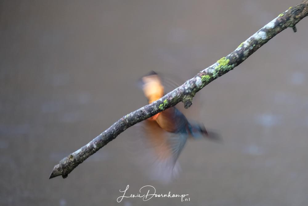 ijsvogelman vliegt