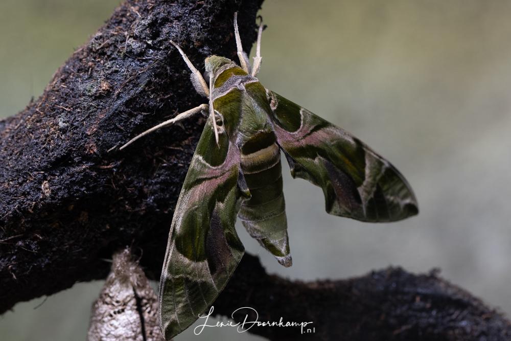 groene camouflagemot