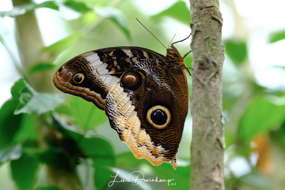 Uilvlinder met dichte vleugels