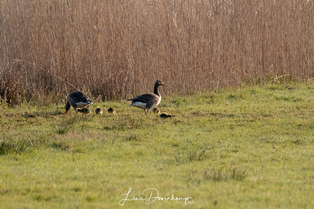 jonge grauwe ganzen