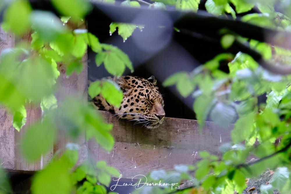 Siberische luipaard