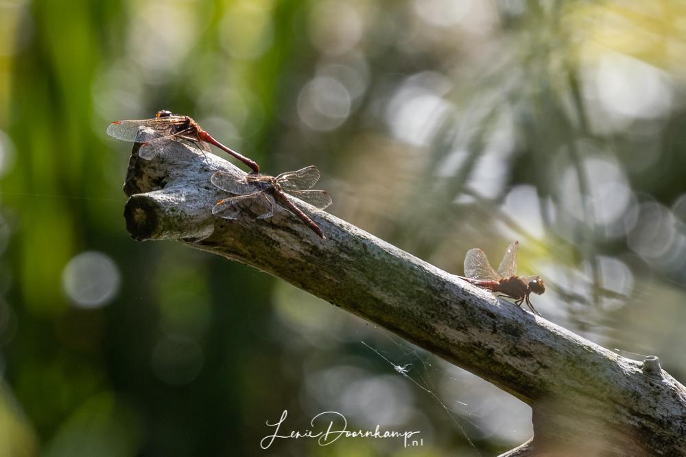 steenrode heidelibellen