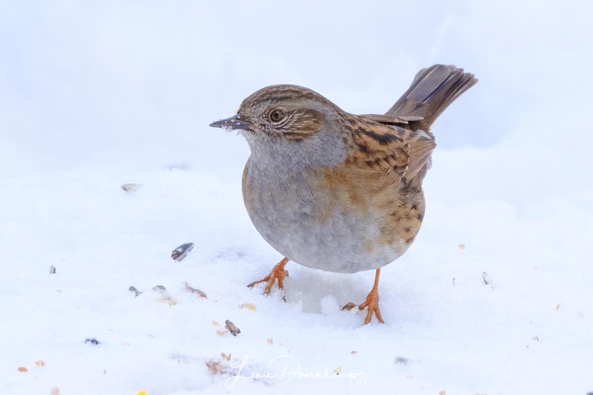 heggenmus in de sneeuw